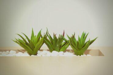 Aloe Vera For Skincare? The Top Reasons